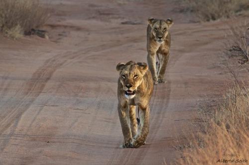 2_lions